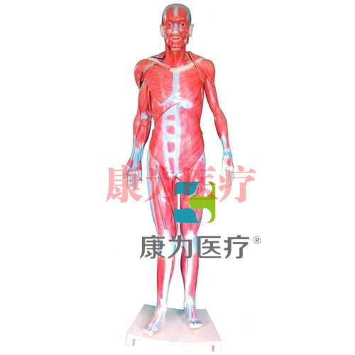 """""""康为医疗""""全身肌肉解剖betway必威手机版中文版(自然大)"""