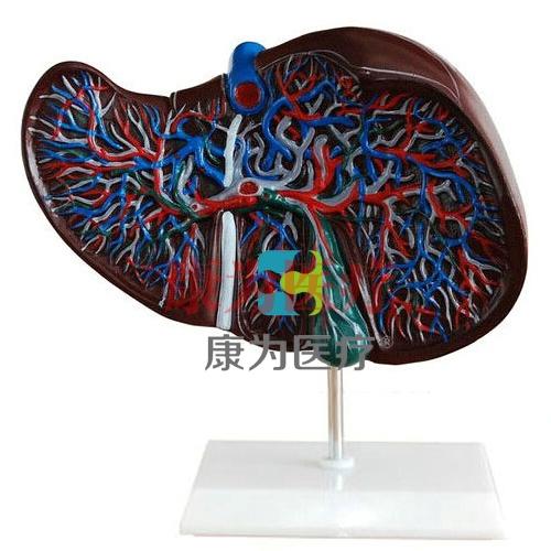 """""""康为医疗""""肝与胆囊模型"""