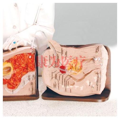 德国3B Scientific®男性导尿插管训练威廉希尔