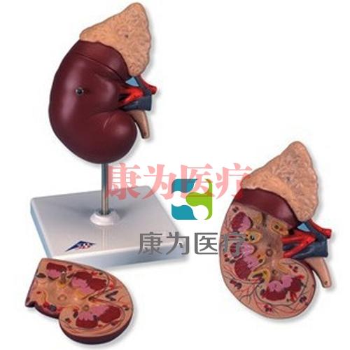 肾脏与肾上腺威廉希尔,2部分