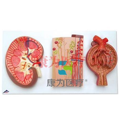 肾切面、肾单位、血管和肾小体模型