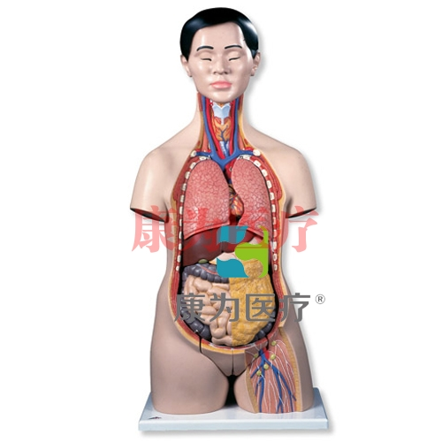 亚洲人两性躯干模型,18部分