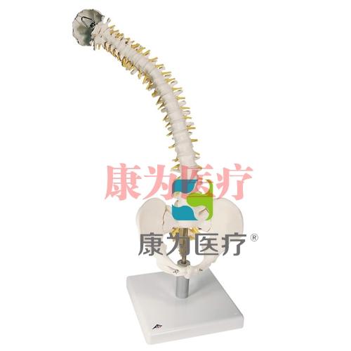 活动性脊柱模型,带有软椎间盘