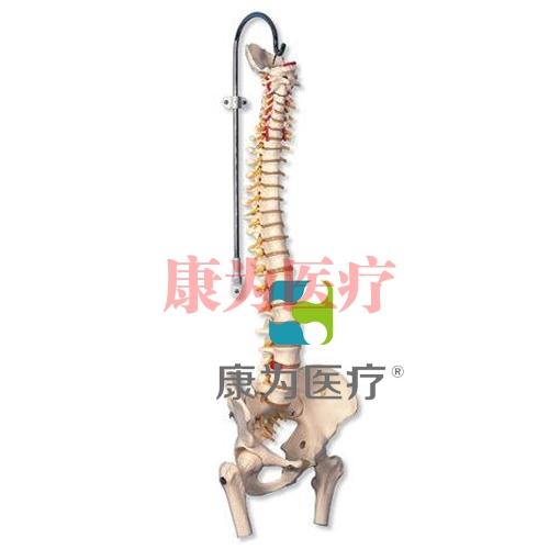 带股骨头的生命期活动脊柱模型