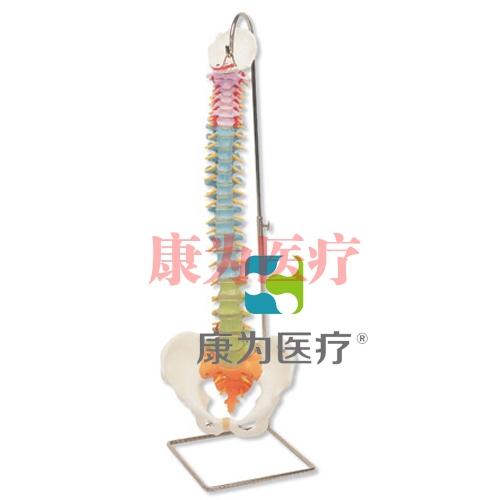 带股骨头的教学用活动脊柱威廉希尔