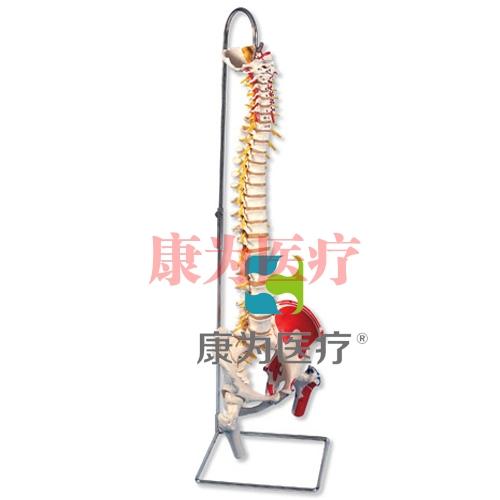 带股骨头和着色肌肉的豪华型活动脊柱威廉希尔