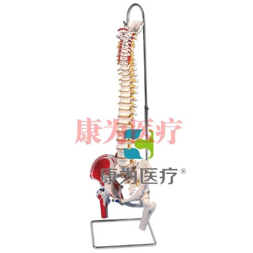 带股骨头和着色肌肉的经典活动脊柱模型