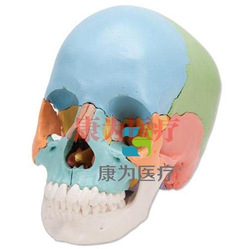 人造头颅模型,是由22块可拆卸部分组成,不同的部分使用不同颜色标记,具有很好的教学目的。