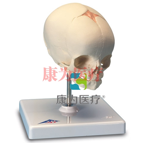 胎儿颅模型,置于基架
