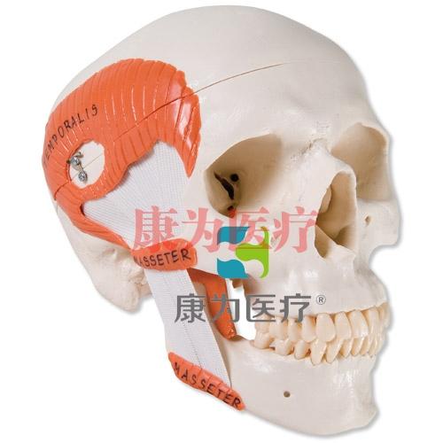 带有咀嚼肌的功能性颅模型,2部分