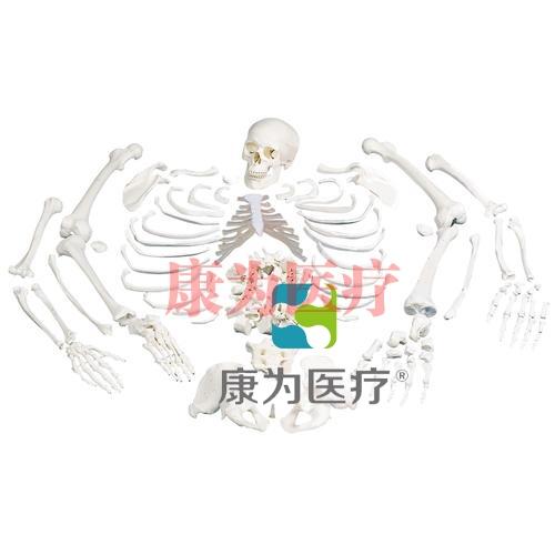 未组装的全骨骼,带三部分头骨