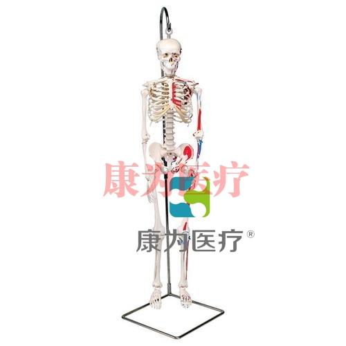"""迷你骨骼肌肉模型""""Shorty"""",带可悬挂支架"""