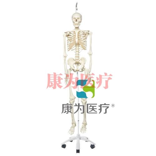 病理骨骼Phil,轮式5脚悬挂架
