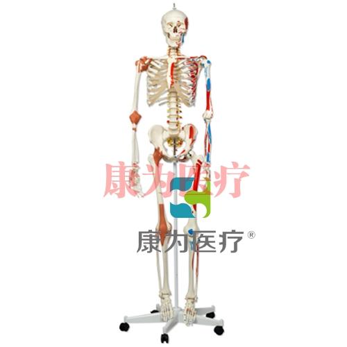 豪华型骨骼Sam,轮式5脚支架