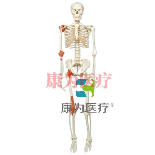 经典型韧带骨骼Leo,轮式5脚支架