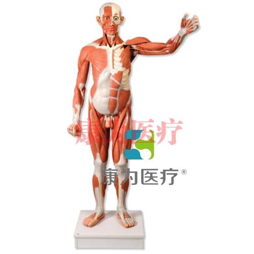 实物大小男性人体肌肉模型,37部分