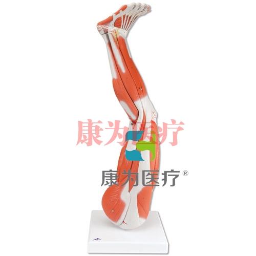腿肌模型,9部分