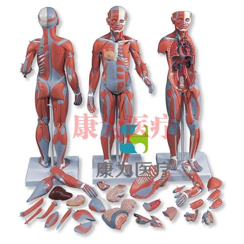 完整两性人体肌肉威廉希尔,带内部器官,33部分