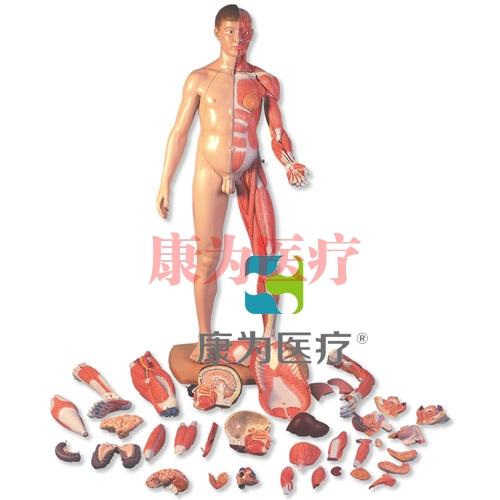 3B Scientific 真人大小两性欧洲人体肌肉臂模型,39部分