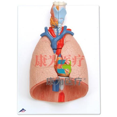 带咽喉肺威廉希尔,7部分