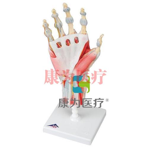 配置韧带与肌肉结构的手骨胳威廉希尔