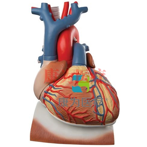 横膈膜上心脏模型,实物的3倍,10部分