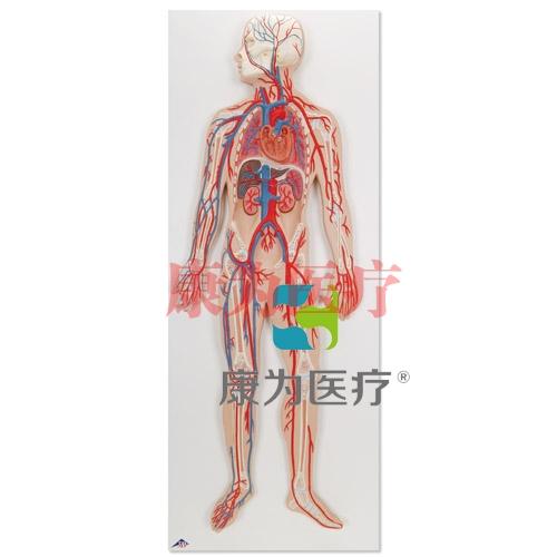 血液循环系统威廉希尔