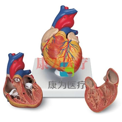 心脏模型,2 部分