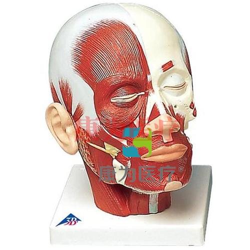 头部肌肉模型