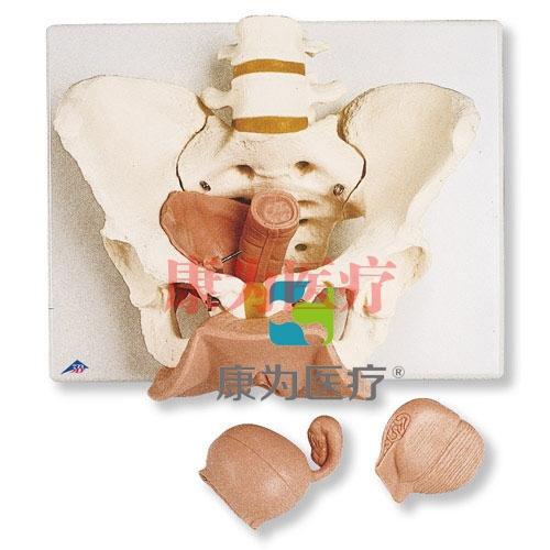 女性骨盆带生殖器官威廉希尔