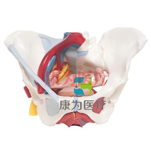 女性骨盆模型(配置韧带、血管、神经、盆底肌群及各个器官),6分体
