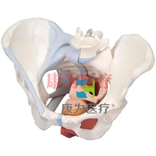 女性骨盆威廉希尔(配置韧带组件,穿通盆底肌群及器官的正中矢状切面),4分体