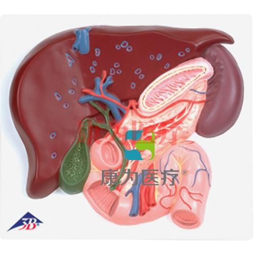 肝脏带胆囊、胰和十二指肠威廉希尔