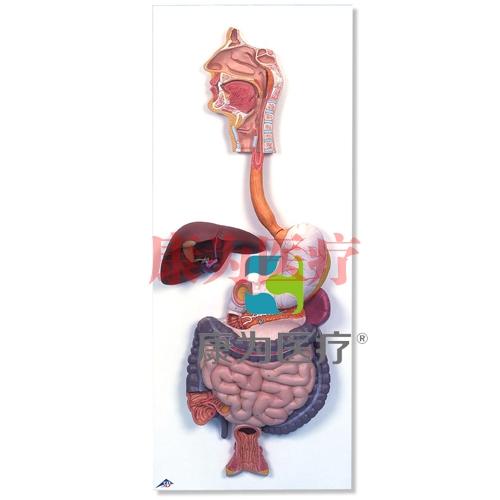 消化系统威廉希尔,2部分