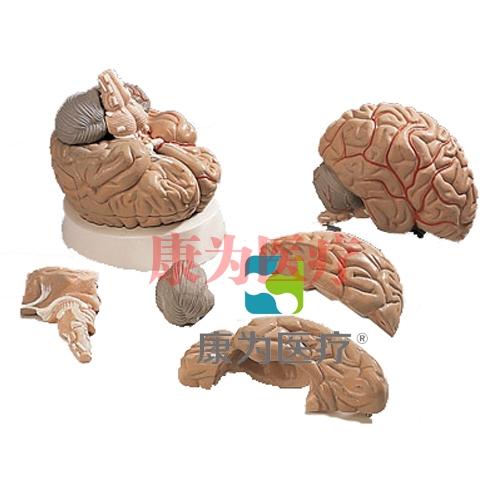 脑及动脉模型,5部分