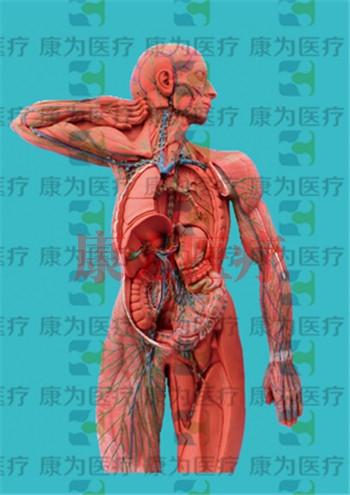 GPI威廉希尔人体肌肉硅胶威廉希尔(软硬结合)
