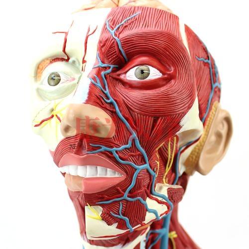 GPI局部解剖学硅胶威廉希尔(软硬结合)