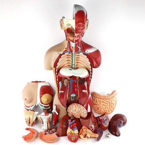 解剖医学模型 Anatomy