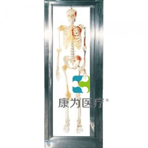 """""""康为医疗""""不锈钢骨骼标本柜"""
