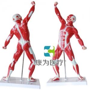 """""""康为医疗""""人体浅层运动肌肉解剖Manbo万博体育"""