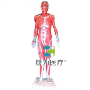 """""""康为医疗""""全身肌肉解剖Manbo万博体育(自然大)"""