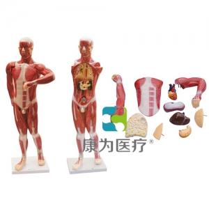 """""""康为医疗""""人体肌肉及胸腹腔脏器解剖Manbo万博体育"""
