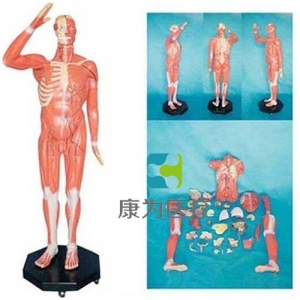 """""""康为医疗"""" 人体全身肌肉附内脏betway必威手机版中文版"""