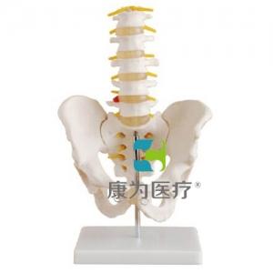 """""""康为医疗""""自然大骨盆带五节腰椎模型"""