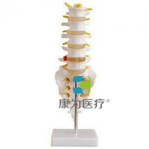"""""""康为医疗""""自然大腰椎带尾椎骨模型"""