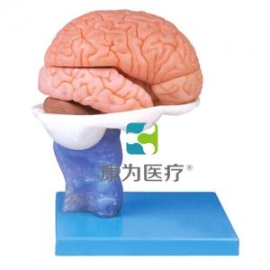 """""""康为医疗""""15部分脑解剖betway必威手机版中文版"""