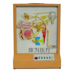 """""""康为医疗""""头部自主神经分布电动模型"""