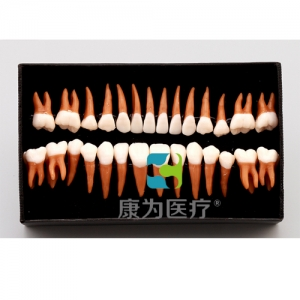 """""""康为医疗""""成人牙齿模型28颗"""