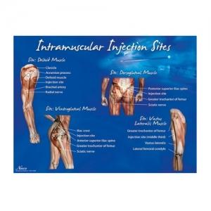 德国3B Scientific®肌内注射部位的海报