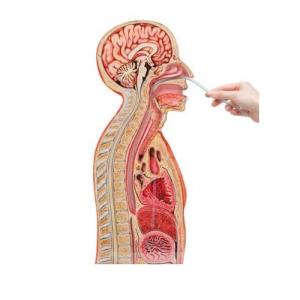 德国3B Scientific®鼻-胃插管betway必威手机版中文版
